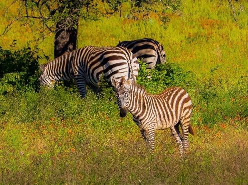 Random Texas Zebras